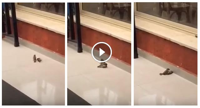Pájaro reanima a su amigo inconsciente