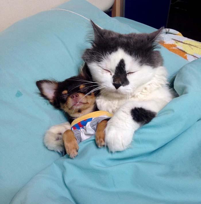 chihuahua y gato