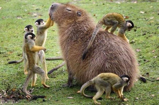 Capibara con monos
