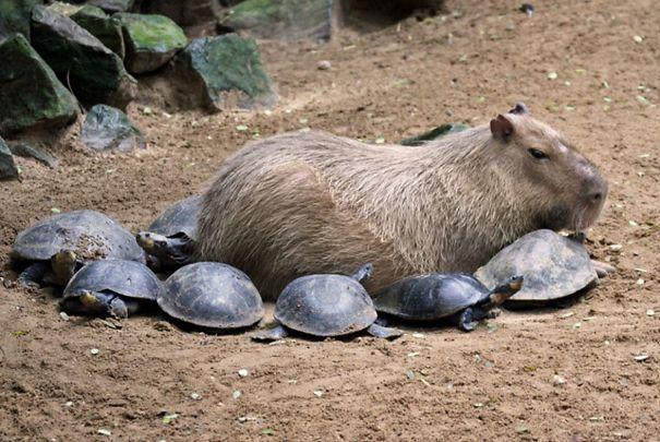 Capibara con muchas tortugas