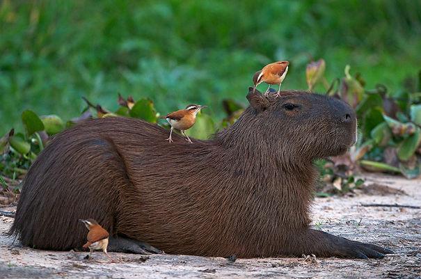 Capibara con pájaros
