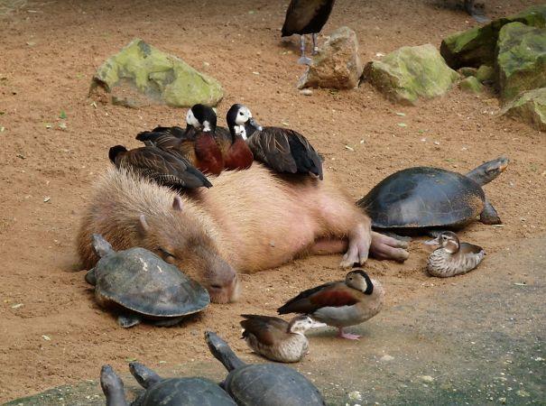 Capibara con patos y tortugas