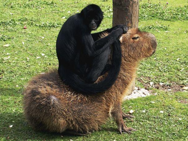 Capibara con un mono