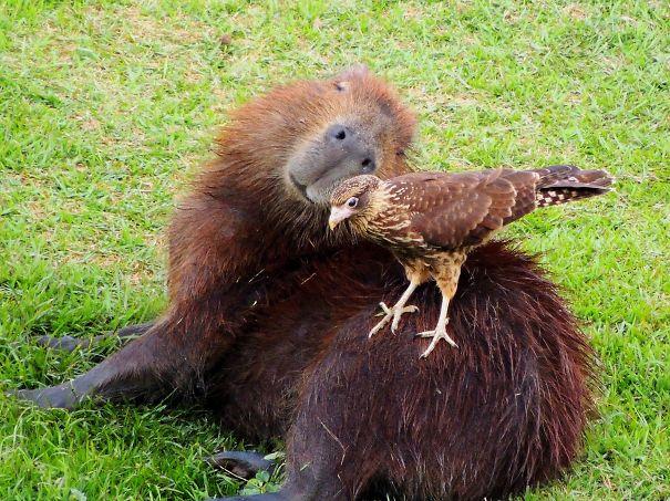 Capibara con un pájaro