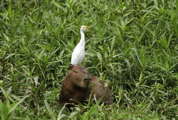 Capibara con una garza