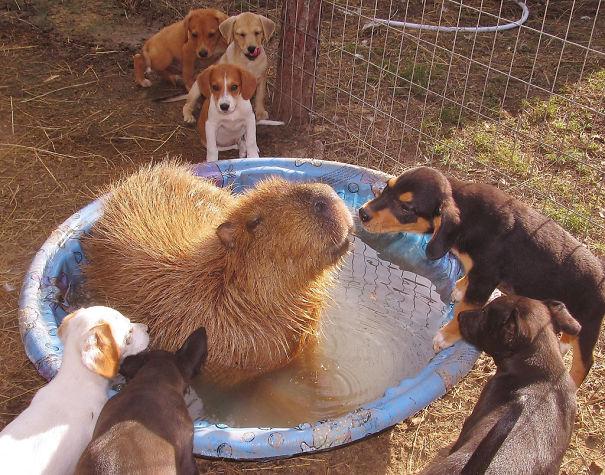 Capibara y cachorros