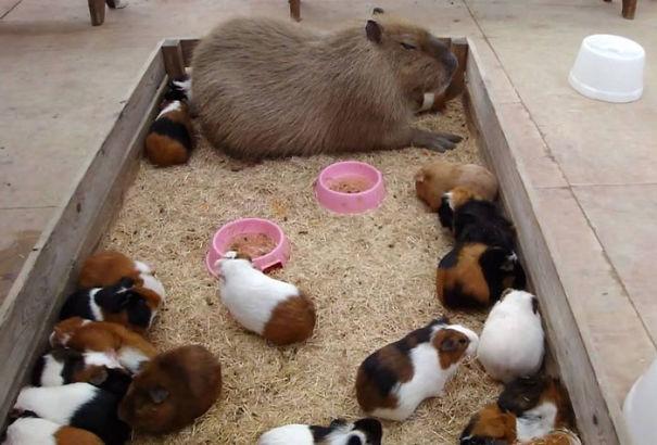 Capibara y conejillos de indias