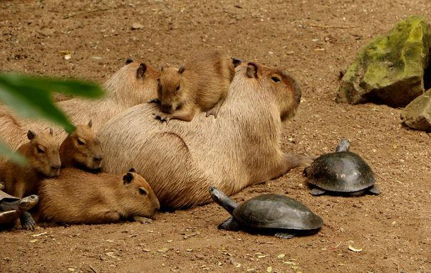 Capibara y tortugas