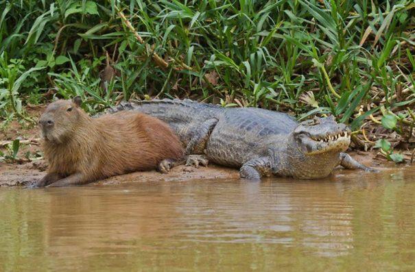 Capibara y un cocodrilo