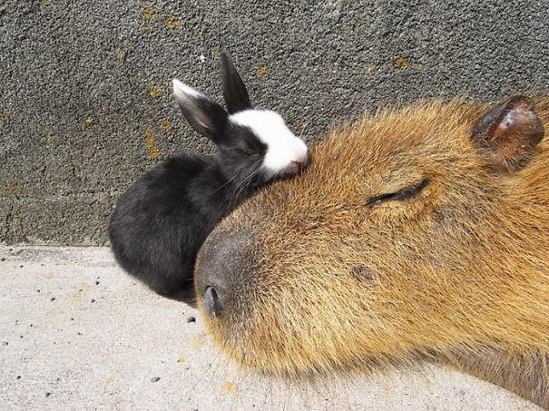 Capibara y un conejo