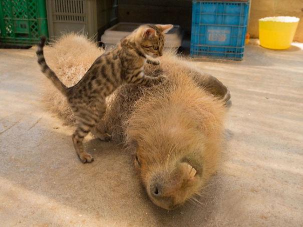 Capibara y un gatito