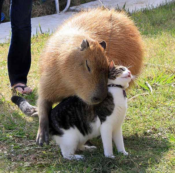 Capibara y un gato