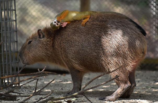 Capibara y un mono