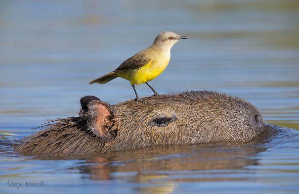 Capibara y un pájaro