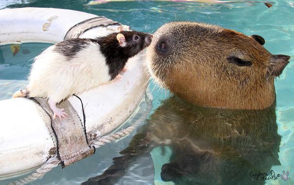 Capibara y una rata