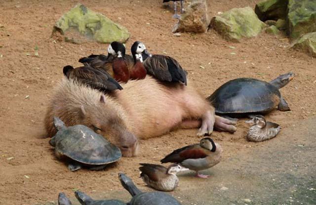 Capibaras se llevan bien con otros animales