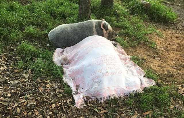 Cerdo no se separa de su amigo aún después de muerto