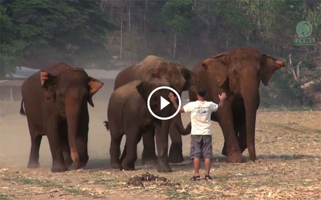 Elefantes vienen corriendo cuando su cuidador les llama