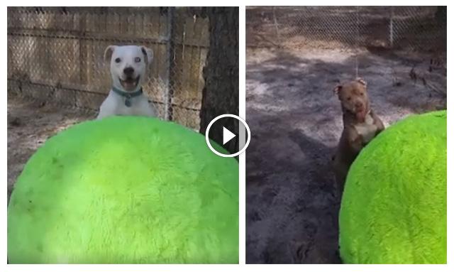 Perros de un refugio sorprendidos con pelota gigante