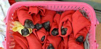 Bebés murciélagos zorro volador rescatados a punto de congelarse