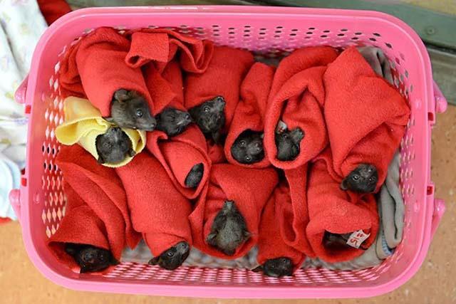 Estos bebés murciélagos fueron salvados a punto de congelarse