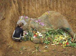 Muere elefante forzado a dar paseos a los turistas