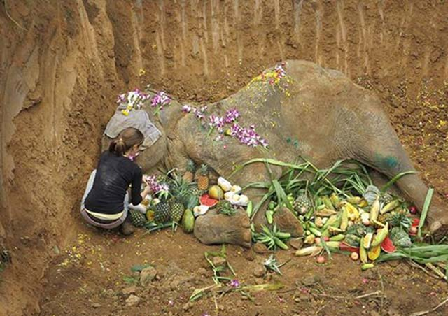 Elefante forzado a dar paseos a los turistas durante años, es honrado luego de morir en un santuario