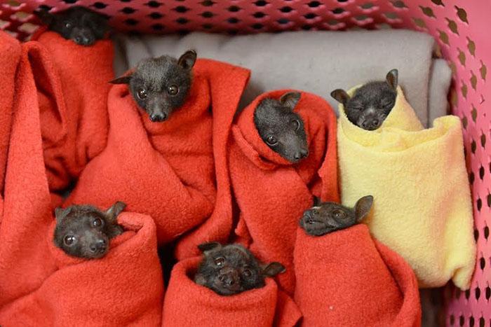 Murciélagos zorro volador
