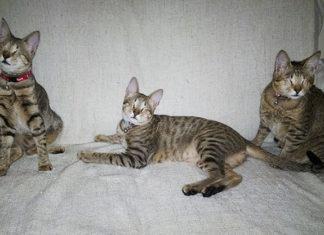 Nadie quería a estos tres gatos ciegos y una mujer los adoptó