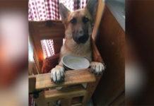Perro nació con extraña condición y debe usar una silla especial