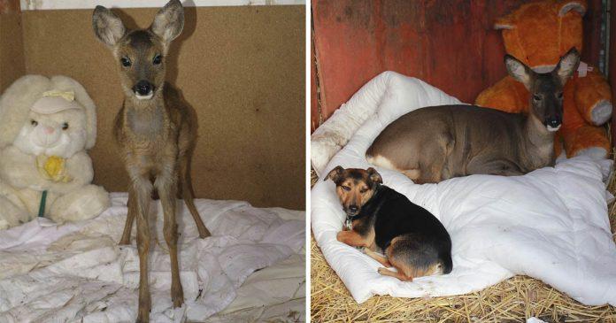 Ciervo rescatado se cree perro