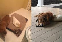Este pato consuela a un perro deprimido que perdió a su amigo