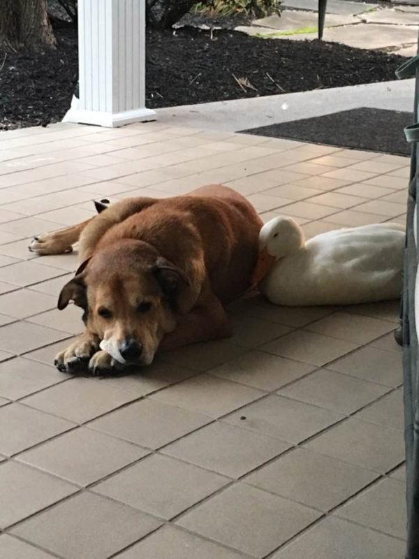 Pato consuela a perro