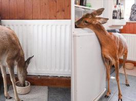 Bramble, el ciervo que debido a su crianza doméstica cree ser un perro