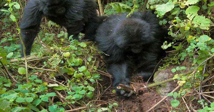 Asombrosa imagen muestra a dos jóvenes gorilas desmantelando trampas de cazadores furtivos