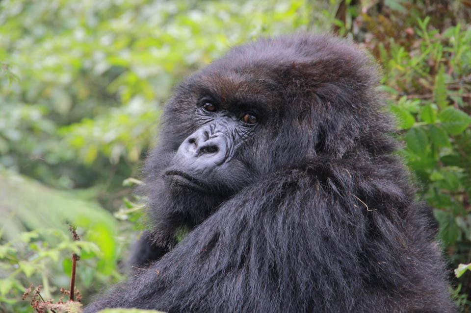 Gorila-desmantela-trampa