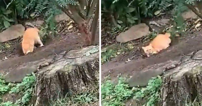 Gato es atrapado cavando docenas de agujeros para culpar a sus hermanos perros