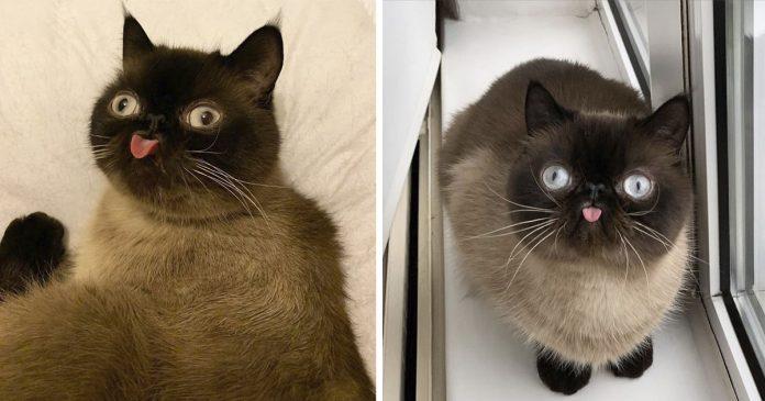 el gato que saca su lengua de forma graciosa en las fotos