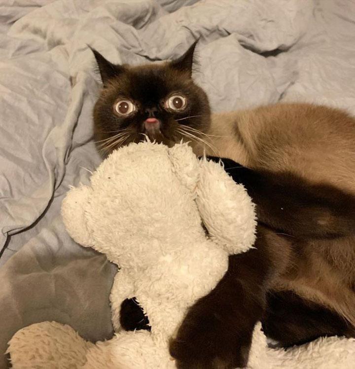 Ikiru el gato blep y su juguete