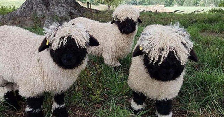 Las ovejas valais Blacknose parecen animales de peluche y son hermosas