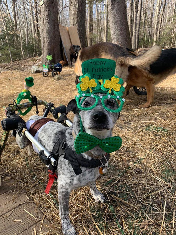 perro con necesidades especiales celebra festividad