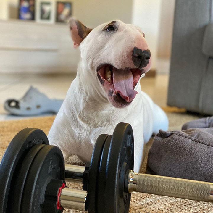 sparkie bull terrier haciendo ejercicio en cuarentena