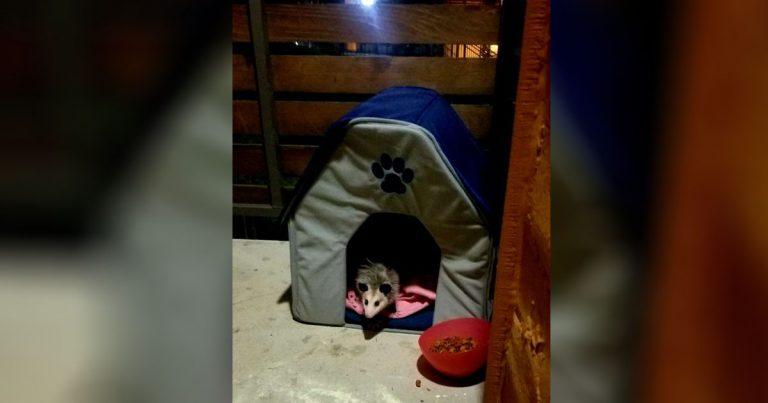 Mujer descubre que el 'gato callejero' que ha estado alimentando es en realidad una zarigüeya