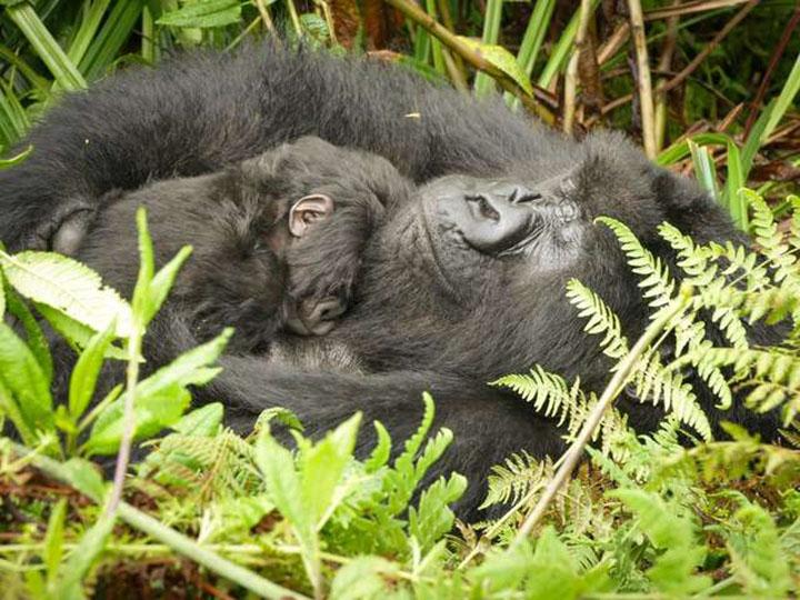 joven gorila hace de niñera