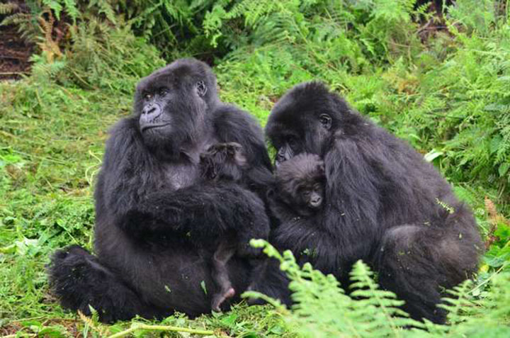 la niñera de los gorilas de la montaña