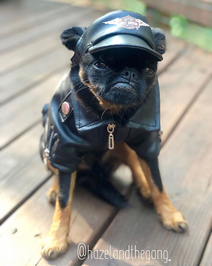 pequeño perro que tiene cara de mal humor