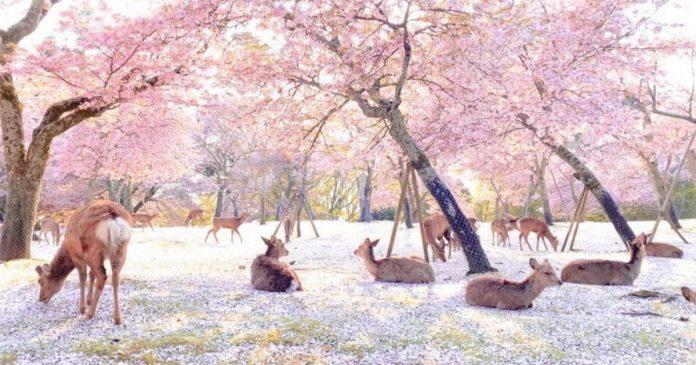Ciervos disfrutan flores cerezos parque Nara