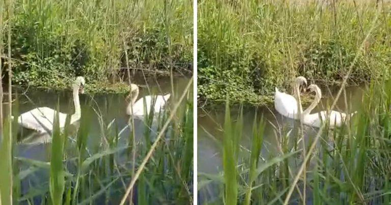 Cisne herido no puede creer que se esté reuniendo con su compañero de toda la vida