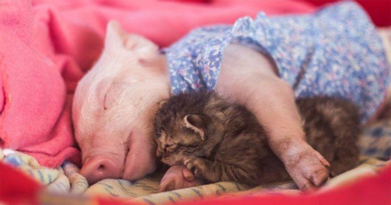 Gatito y cerdita rescatados se consuelan mutuamente