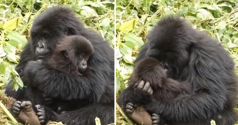 Gorila actúa como niñera de una madre que necesitaba pasar tiempo a solas